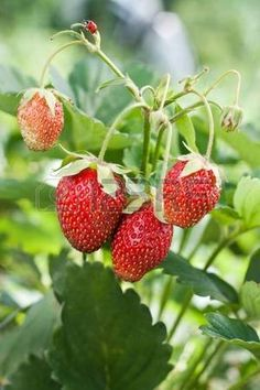 strawberry vine: Closeup of fresh red strawberries growing on the vine