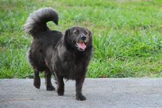 The Davinci Foundation for Animals RESCUE ACROSS THE NATION:GA Teddy • Chow Chow Mix • Young • Male • Medium Murray County Humane Society • Chatsworth, GA