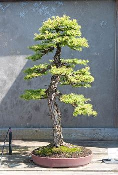 Günter Maintz Bonsai