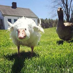 Utilize the unique characteristics of geese to make them natural guardians and perfect protectors for your farm and flock.