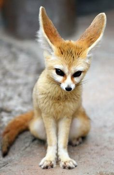 FENNEC FOX - Pixdaus Lives in the deserts. That's why he has such large ears, they help to keep his bodytempherature low.