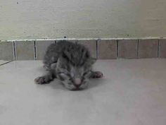 TO BE DESTROYED 5/28/14 ** BABY ALERT!! ONLY 1 WEEK OLD! CAME IN WITH A1000767 - BERTHA (MOM) ** Manhattan Center  My name is MINTS. My Animal ID # is A1000777. I am a female brn tabby and white domestic sh mix. The shelter thinks I am about 6 DAYS old.  I came in the shelter as a STRAY on 05/23/2014 from NY 11103, owner surrender reason stated was STRAY. I came in with Group/Litter #K14-178461.