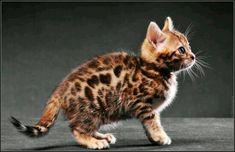 #rarecatsbreeds