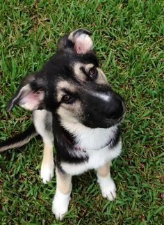 husky/german shepard mix, 2 of my favs. I NEED YOU
