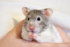 Hamish the Hamster | Flickr - Photo Sharing!