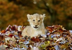 Lion cub playing in a pile of leaves - 06