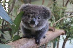 Koala joey, (baby)