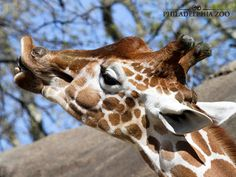 Giraffe necks have seven vertebrae, the same as humans do. This amazing adaptation allows them to reach food in tall trees that is not accessible to other browsers. This moment was captured by Camera Club Member Sharon Sipple