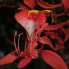 A rare flowering of the Pride of Burma tree... Amhertsia nobilis by jungle mama, via Flickr. The stunning and extravagant Amherstia nobiliis is known to many as the Queen of Flowering Trees. Flowers of this ultra rare and spectacular true tropical tree are arranged in a magnificent and graceful branching technique falling as large as 3 feet in length. Very rare in the wild (Burma)