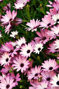 Buy Osteospermum Collection Online | Hayloft Plants
