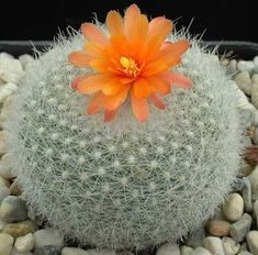 Notocactus haselbergii                                                                                                                                                      Más
