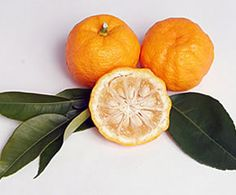 yuzu--Because of its cold hardiness, Yuzu is one of the few citrus varieties that one can conceivably try to grow in temperate regions of the US where winter lows may dip below freezing.