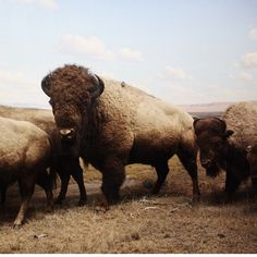 buffalo / bison have these in south park my dad always took us to see Beautiful Creatures, Animals Beautiful, American Bison, Stop Animal Cruelty, Baboon, Animal House, Yellowstone National Park, Spirit Animal, Animal Kingdom