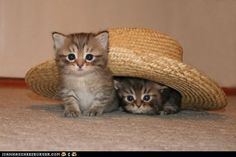 Two Cats, One Hat