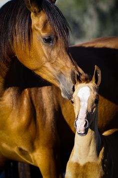 Mare and foal horse love. H Embrace H :: Hennessey Arabian, LLC