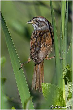 Swamp Sparrow July 3, 2014 Devon, AB
