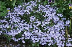 Veronica Waterperry Blue - part shade