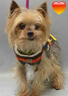 SUPER URGENT Brooklyn Center ROCKO – A1096148 MALE, BROWN / GRAY, YORKSHIRE TERR MIX, 10 yrs STRAY – STRAY WAIT, NO HOLD Reason STRAY Intake condition UNSPECIFIE Intake Date 11/07/2016 http://nycdogs.urgentpodr.org/rocko-a1096148/
