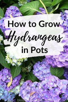 Hydrangea Shade, Hydrangea Potted, Hydrangea Landscaping, Hydrangea Garden, Hydrangea Flower, Hydrangea Varieties, Propagating Hydrangeas, How To Grow Hydrangeas, Large Flower Pots