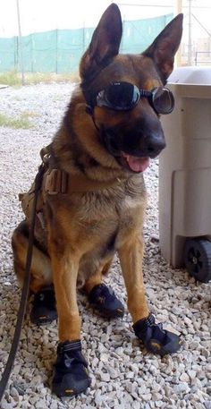 Baffy, the bomb-sniffing Army dog