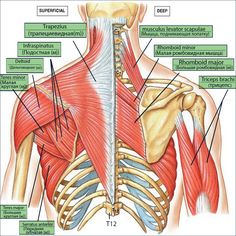 Feel Incredible With These Great Massage Tips. A full body massage is something that can provide numerous benefits for you. Muscle Anatomy, Body Anatomy, Shoulder Muscles, Back Muscles, Shoulder Joint, Major Muscles, Bones And Muscles, Shoulder Anatomy, Muscular System