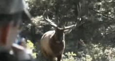 Utah elk gets so close to hunter it almost runs into the rifle.