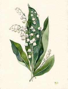 Lily of the Valley illustration by Robin Clugston. This was a commissioned piece.
