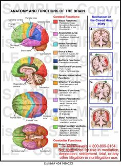 14 , Anatomy and Functions of the Brain Brain Science, Medical Science, Life Science, Computer Science, Ap Psychology, School Psychology, Brain Anatomy And Function, Brain Models, Brain Mapping