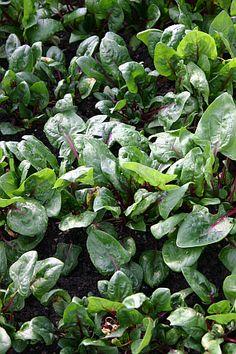 Gründüngung im Herbst :Auch Feldsalat und Spinat wirken als Gründüngung. Weitere Möglichkeiten im Blogartikel Lettuce, Sprouts, Cabbage, Vegetables, Flowers, Plants, Inspiration, Crop Rotation, Wildflowers
