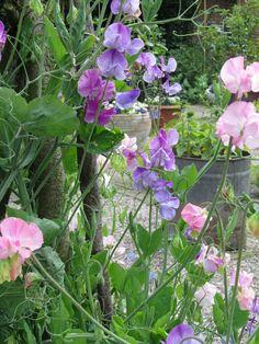 Lathyrus is een eenjarige zelfhechtende klimplant. De pronkerwt bloeit van juni t/m september. Hoe meer bloemen je plukt om binnen in een vaasje te zetten des te uitbundiger de bloei.