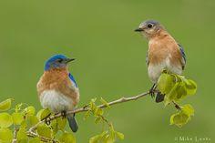 Eastern Bluebird Couple by Mike Lentz Photography