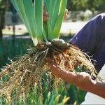 Replanting Iris