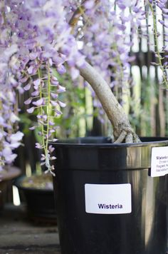 Nothing compares to the beauty of a wisteria in bloom, but if it's in the wrong place can be a gardener's nightmare. So if you're thinking about how to transplant a wisteria, the info in this article can help.