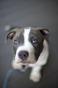 blue pit bull puppy