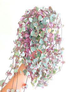 Strings of heart - Strings of heart Houseplants Flowers plants garden gardening nature biophilia Succulents Garden, Garden Plants, Planting Flowers, Cactus Plants, Cactus Decor, Cactus Art, Inside Plants, Cool Plants, Hanging Plants