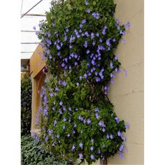 Snapdragon 'Climbing Blue' (Asarina Scandens) Flower Plant Seeds, Annual Heirloom