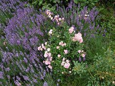 http://foto.mein-schoener-garten.de/im-Vorgarten-in-voller-Bluete-Lavendel-und-The-Fairy-die-zartrosa-Bodendecker-Rose-neu-foto-user-fotofreak57-155401-orig-82.html
