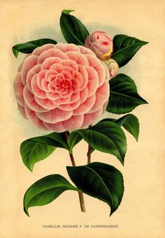 Instant Art Printable Download - Pink Camellia Botanical