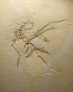 Dinosaur-Era Fossil Shows Birds' Feathers Evolved Before Flight An ancient bird ancestor from the dinosaur era sported feathers, but couldn't fly.