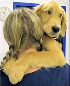 Adopt...Golden Beginnings, Golden Retriever Rescue