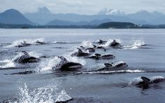 Pacific white-sided dolphins speeding off the west coast of Vancouver Island , British Columbia, by SparkyLeigh O Canada, Canada Travel, Canada Trip, Sunshine Coast, British Columbia, Calgary, Tofino Bc, Exploration, Western Canada