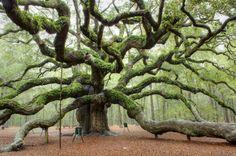 Дуб ангела — Фото дня, 1 февраля 2015Возраст этого дерева приблизительно 1500 лет. Ему не страшны даже ураганы. Пережив сокрушающий Хьюго в 1989 году, он выздоровел и стал еще более могуч.