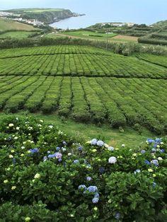 Tea plantation- Porto Formoso, S.Miguel, Açores