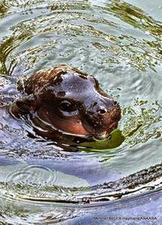 Yavru Hipopotam