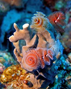 Christmas Tree Worm in coral reef of Bonaire, Dutch Antilles, Caribbean Sea