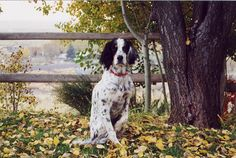 Llewellin Setter - Saw this while I was browsing randomly through the Animals category...look just like my girl Dipstick!