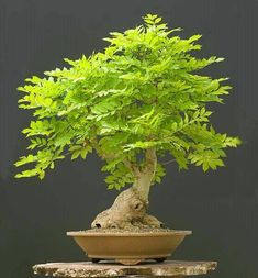 Bonsai Tree Ideas A Guide To Bonsai Trees For Beginners Bonsai Tree Ideas. The art form of bonsai can be a wonderful and unique hobby. Viewing and taking good care of a bonsai collection can be a r… Hydroponic Gardening, Bonsai Tree Care, Plants, Bonzai Tree, Tree Care, Japanese Garden, Trees To Plant, Growing Tree, Miniature Trees
