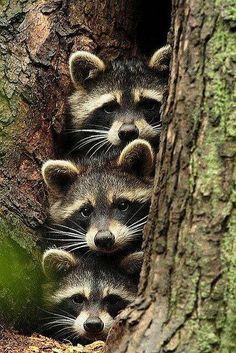"""Raccoon """"He's gone right?"""" Raccoon """"Ya is he?"""" Raccoon """"I think so, ya I think. Cute Creatures, Beautiful Creatures, Animals Beautiful, Unique Animals, Woodland Creatures, Animals Amazing, Exotic Animals, Woodland Animals, Nature Animals"""