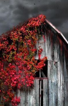 old barn & Virginia creeper. A fast growing vine whose foliage turns a stunning red in the fall. Grows in full sun to light shade. It is most known for its ability to climb buildings, arbors and pergolas.  I just love this photo.