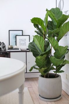 Violin ficus and a nice pot from the Plantagen (Interior decoration) - Modern Big House Plants, Big Indoor Plants, House Plants Decor, Big Plants, Green Plants, Fig Plant Indoor, Leafy Plants, Unique Plants, Diy Garden